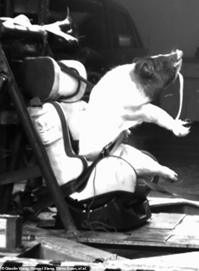 Maiali vivi usati come manichini nei crash test dei seggiolini in Cina