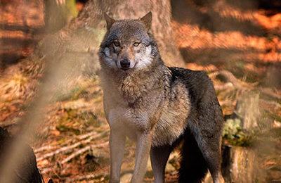 La Valle d'Aosta vuole abbattere i lupi anzichè proteggerli