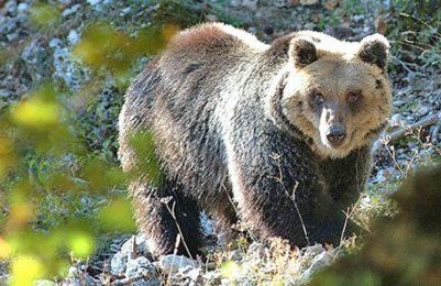 Uccisione orsa KJ2: Ugo Rossi, ex Presidente Provincia Autonoma di Trento, sarà processato