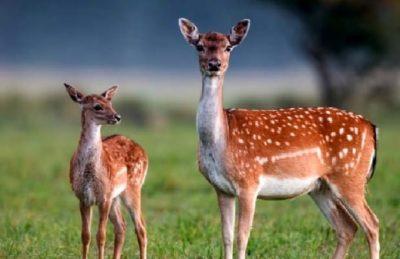 Abbattimento daini al Circeo: Presidente Animalisti Italiani scrive al Direttore dell'Ente Parco