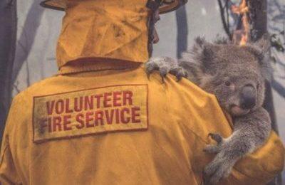 Incendi in Australia, adotta un koala a distanza o aiuta i soccorritori