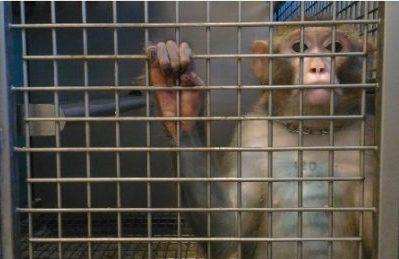 CdS sospende sperimentazione sui macachi perchè invasiva sugli animali