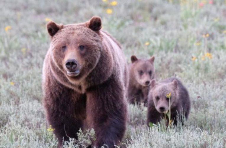 L'orsa JJ4 sarà libera di fare la mamma