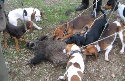 Regione Toscana autorizza la caccia al cinghiale in braccata