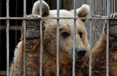 Somministrati psicofarmaci agli orsi detenuti al Casteller. La relazione shock degli esperti